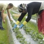 Alrededor de 2.500 extranjeros con contratación en origen trabajan en el campo